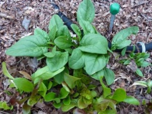 lettuce and spinach will be suceeded by pepper plants