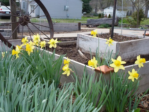 Daffodils are naturalizing. Naturalization also means Take Over The World. But that is OK, it's a short bloom time.