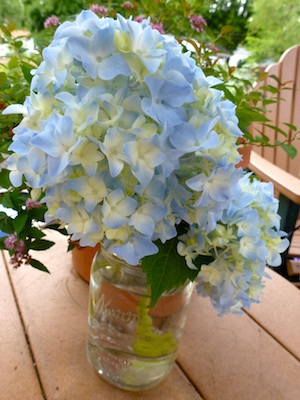 the neighbors hydrangea. My May day gift from the LBND,