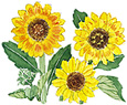 sunflower-musicbox_5001-1