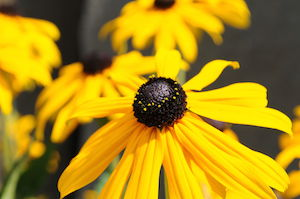 Native Missouri Coneflower, Rudbeckia missouriensis