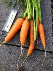 """Bright orange Baltimore Carrots picked 6"""", but would continue to grow to 12"""""""