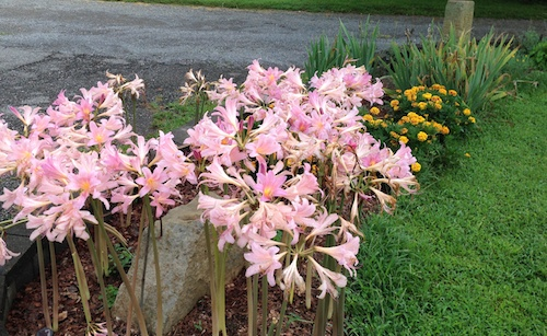 Sometimes called Surprise Lily, or Magic Lily.