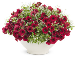 Supertunia® Black Cherry Petunia
