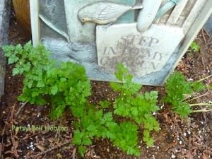 Lacy chervil in part shade.