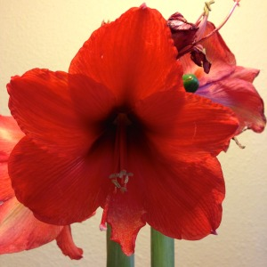 Most of the 8 big blooms are gone by bloom day.