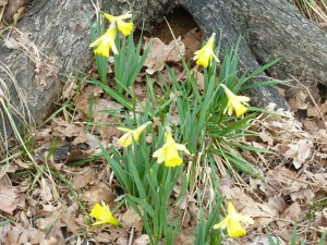 Daffodils protected by the tree and in full sun.