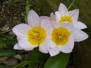 There are more of these Bakeri tulips this year than I planted last year.