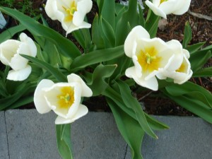 taken overhead some white tulips are tall and beautifully shaped